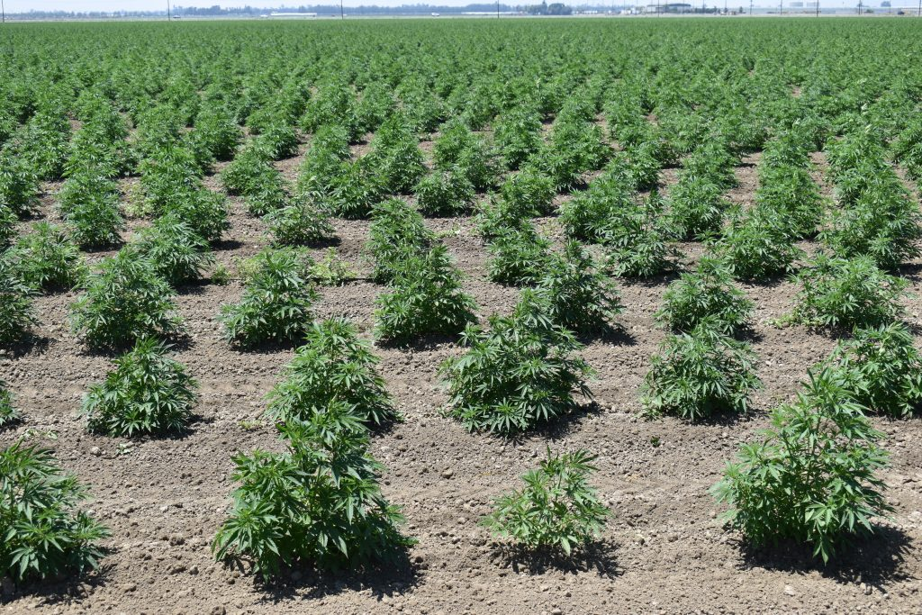 AFBF Urges Improvements to Hemp Regulation - AgNet West