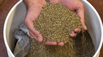After hemp crop tanks, CBD producer sues Oregon hemp seed seller for $44 million, lawsuit says - OregonLive