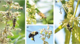 Another Study Confirms Bees Love Hemp - HempGazette
