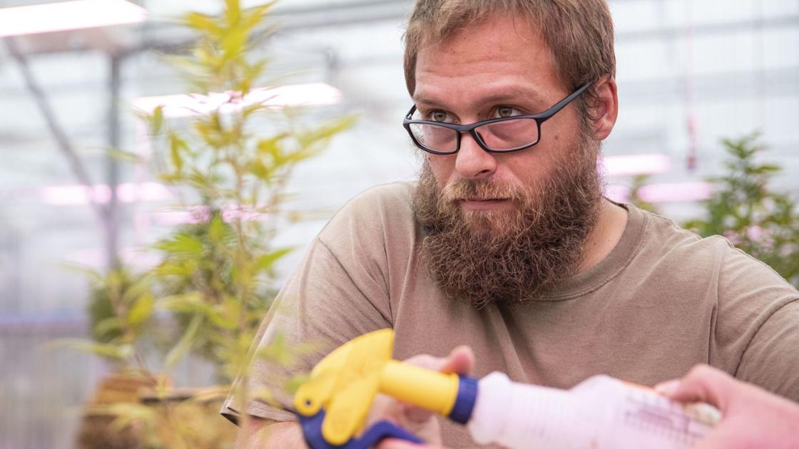 As first harvest nears, the future of hemp in Nebraska is still hazy - Scottsbluff Star Herald
