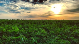 Baltic CBD: Lithuanian expertise in hemp cultivation in the Klaipeda district - Health Europa