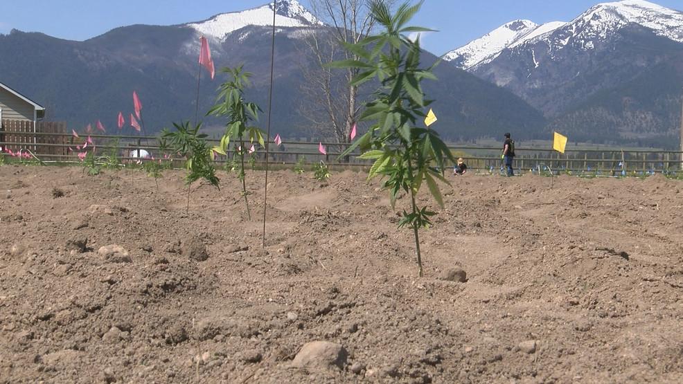 Bitterroot hemp farmer hopes for bumper crop - NBC Montana