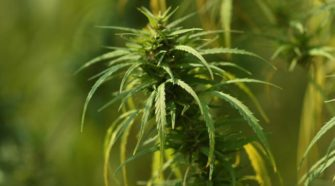 Boulder Council to consider hemp production regulations - The Daily Camera