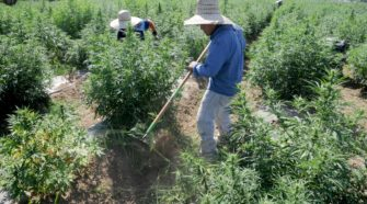 Camarillo City Council weighs options for regulating hemp - VC Star