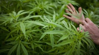 Carrying hemp? You might need to carry a license for that - Georgia Recorder