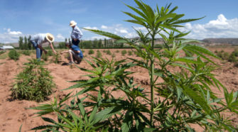 Change in hemp law fuels 'green gold rush' - Albuquerque Journal