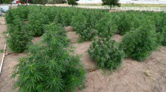 College Place industrial hemp grow turns heads | Business - Walla Walla Union-Bulletin