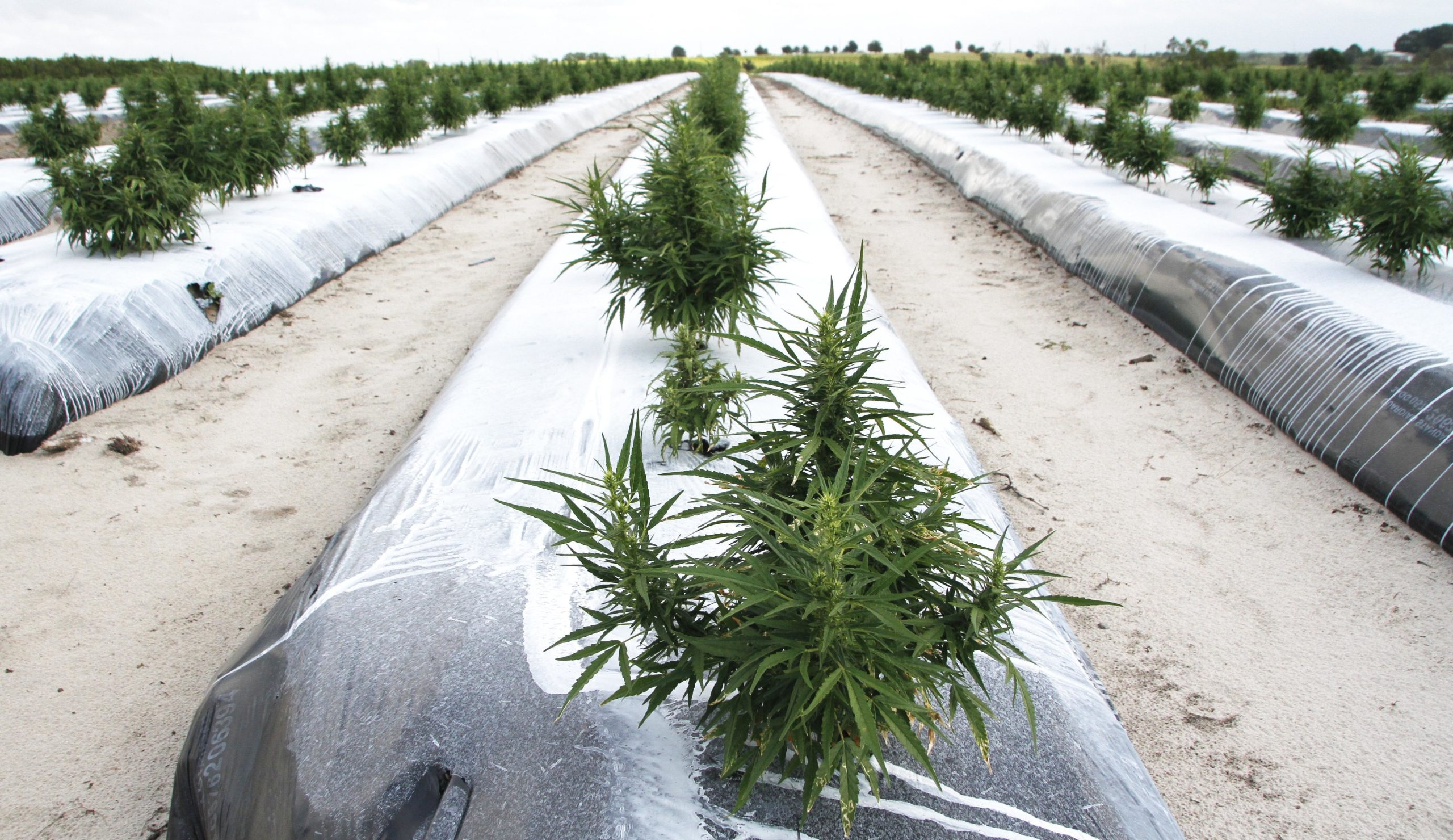 Commercial hemp around the corner in Florida - The Ledger