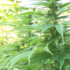 Commissioner's letter to USDA echoes concerns of local hemp farmer - wpde.com