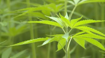 Could CBD and hemp products cause you to lose your job? - WKYT