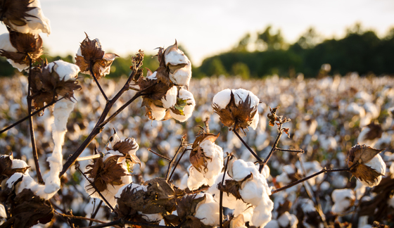 Could Hemp Really Replace Cotton? - ThomasNet News