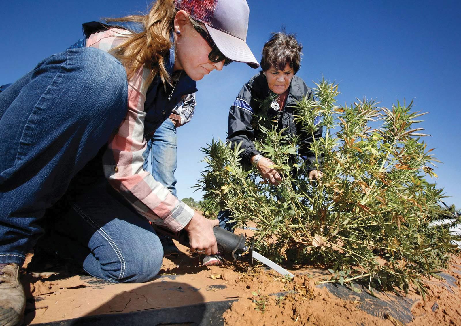 Disease, cold spring hamper hemp rush - The Durango Herald