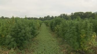 Drones being used to help hemp grow - WBNG-TV