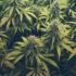 Enderby cannabis regs established