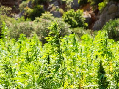 European Hemp Farmers Feeling Hampered By EU's Low THC Limit - Benzinga