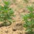 Experts see potential on hemp production in Alabama - Alabama's News Leader
