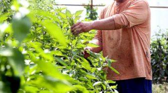 Farmer hopes for hemp revival in the Shenandoah Valley - The Winchester Star