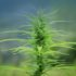 Farmers Preparing For Indiana's First Hemp Harvest - Eagle 99.3 FM WSCH