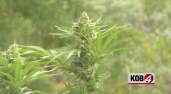 Farmers harvest first legal hemp crop in the state