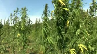 Farmers one step closer to hemp production in Texas - KTAB - BigCountryHomepage.com