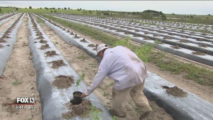 Farmers switching to hemp across Florida - FOX 13 Tampa Bay