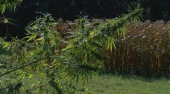 Farmers to begin growing hemp in La. in spring, but must jump through some hoops first - WAFB