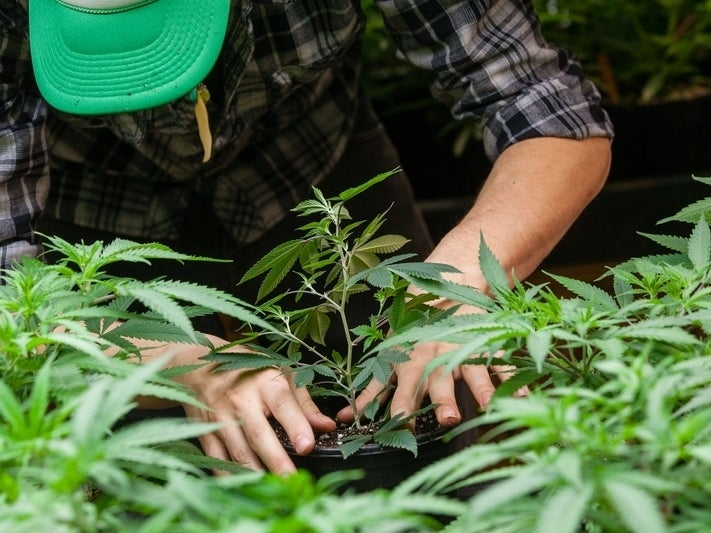 According to an official, only three tribes, including the Santa Rosa band, have been authorized to cultivate under the U.S. Domestic Hemp Production Program.