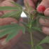 Clock ticking on Nebraska to submit hemp regulations to USDA - KETV Omaha