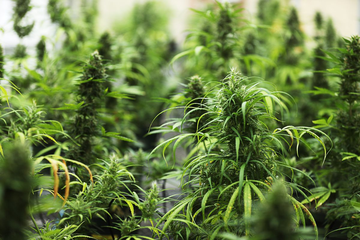 Florida's new hemp market is at risk, advocates say - Sun Sentinel