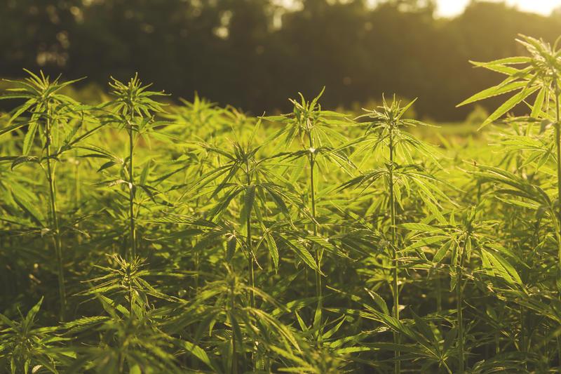 Florida Cannabis Director Talks New Rules For Hemp Program - WFSU