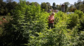 For Hemp Farmers, It's Been A Season Of Learning And Hope - Connecticut Public Radio