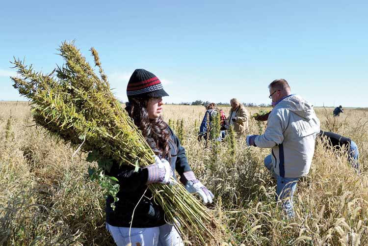 Growing hemp: Legalizing marijuana's close cousin causes problems for state, area law enforcement | News, Sports, Jobs - Warren Tribune Chronicle