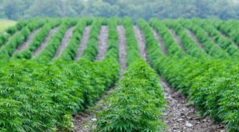 Hemp Becomes Booming Crop for New York Farmers - The Wall Street Journal