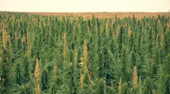 Hemp Insurance Pilot Program from RMA - AG INFORMATION NETWORK OF THE WEST - AGInfo Ag Information Network Of The West