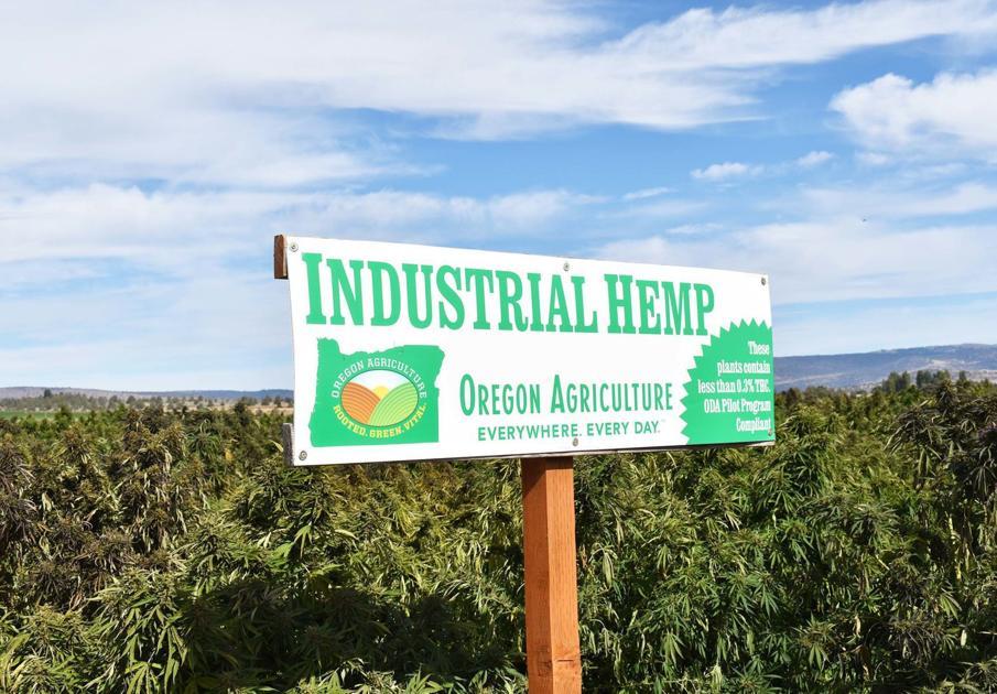 Hemp: 'It's a Money crop' - Herald and News
