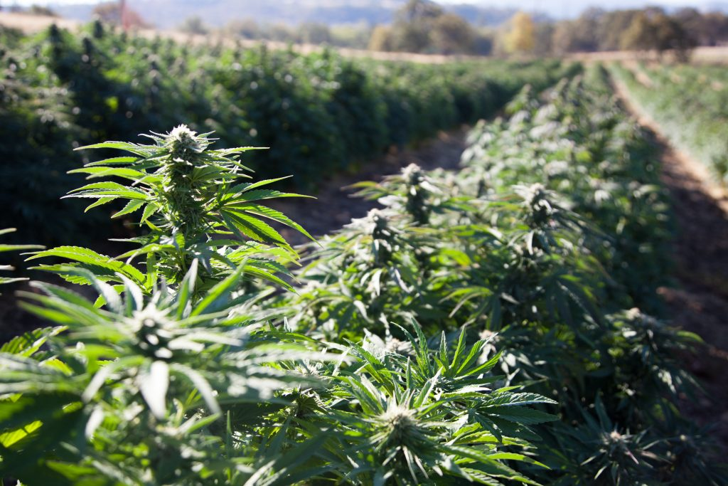 Hemp Production Meetings Scheduled Throughout Alabama - - Southeast AgNet