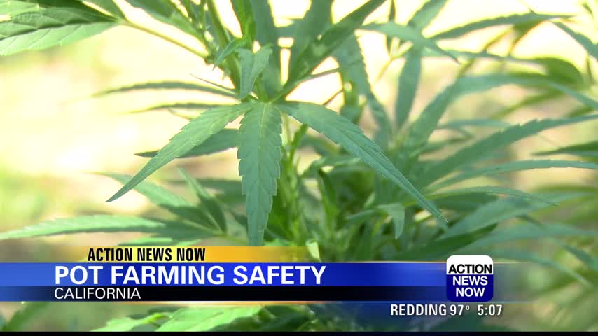Hemp and cannabis healthy growing - Action News Now