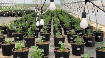 Hemp crops show promise in Illinois - khqa.com