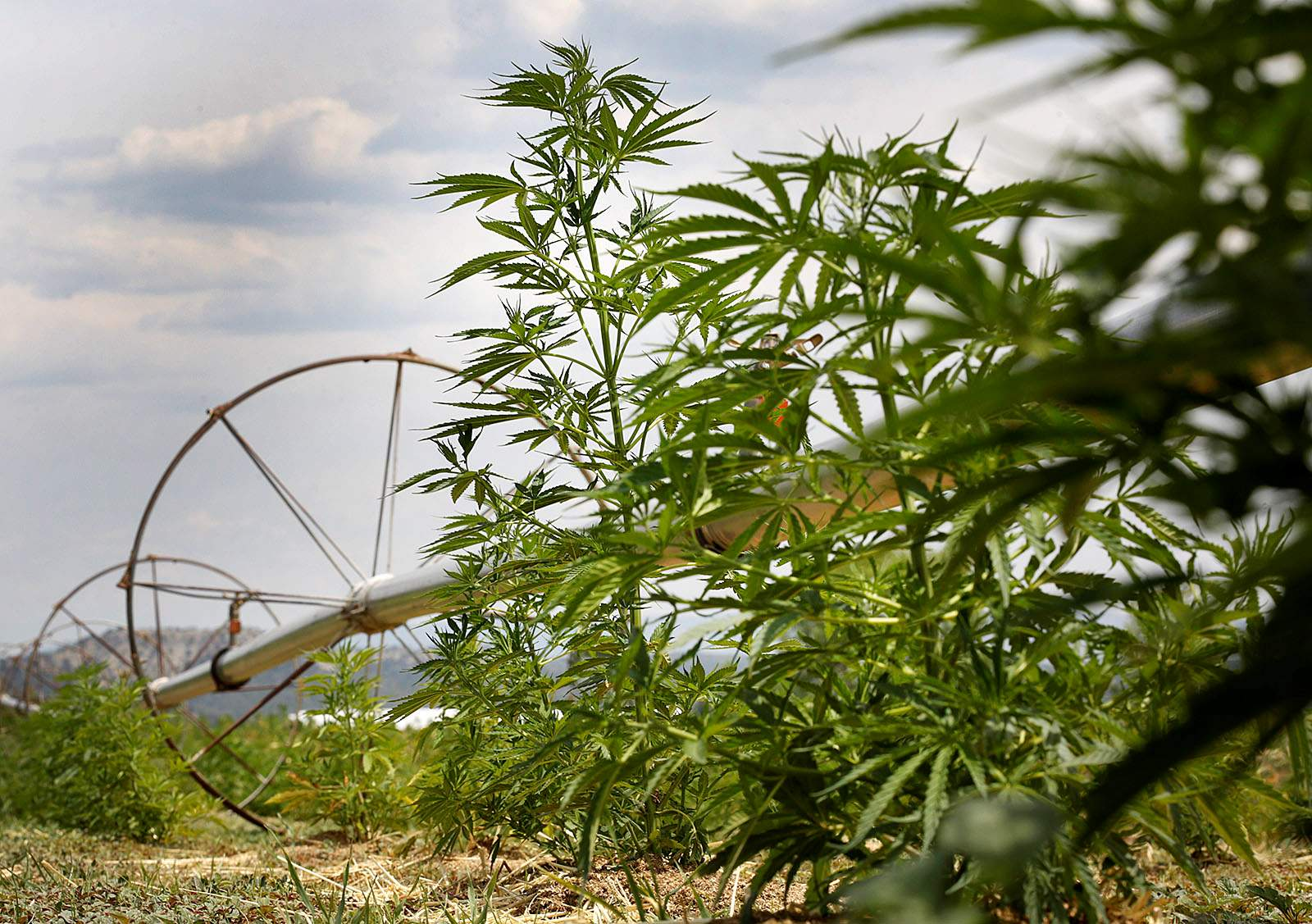 Hemp entrepreneurs face banking challenges - The Journal