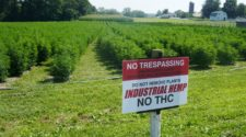 Hemp farmers in Honey Brook have a new crop problem: Thieves - Reading Eagle
