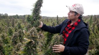 Hemp farms in New York are rapidly growing. But this stands in the way - Rochester Democrat and Chronicle