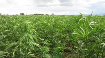 Hemp grower reports gunbattle with invaders who likely thought the plants were pot - coloradopolitics.com