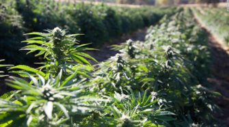 Hemp is legal. Here comes the tricky part - CNN
