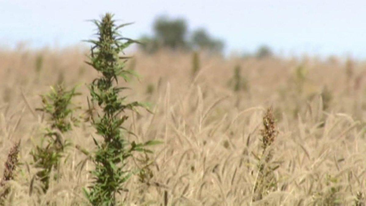 Hemp, marijuana's cannabis cousin, could be local cash crop in Missouri and Kansas - fox4kc.com
