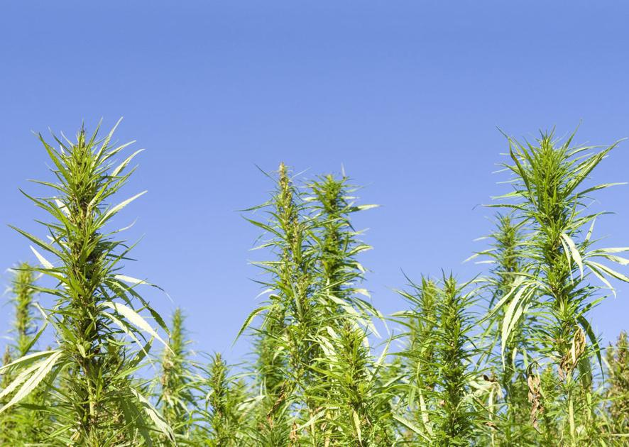 Hemp processor gets $100K incentive for new site in North Carolina - The Mountaineer