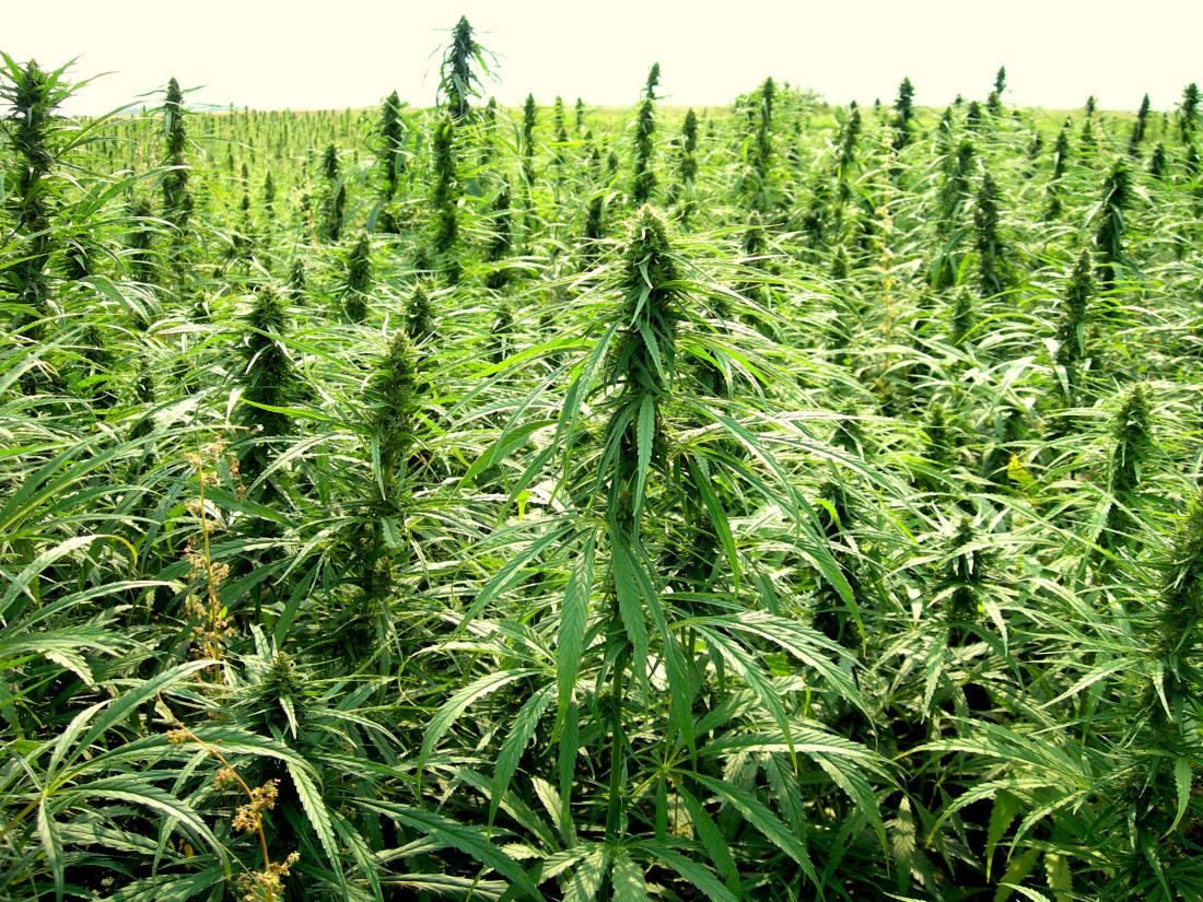 Hemp program overhaul still needs work as House sends bill back to Senate - Florida Politics