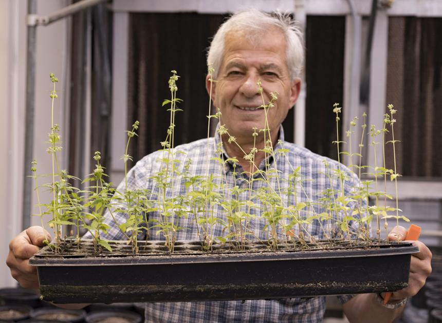 Hemp proposal submitted by state allows for 270 growers in Nebraska - KPVI News 6