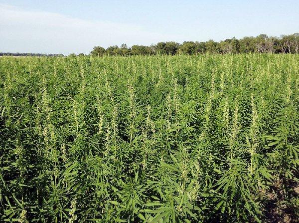 Hemp raising farmers' hopes for lucrative crop in Arizona - Northwest Arkansas Democrat-Gazette