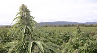 Idaho Senate panel endorses hemp-authorization bill | Research Center - Capital Press