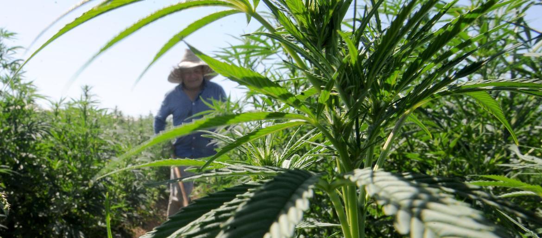 Illinois Tests Hemp Crops For THC Levels | WBBM-AM - WBBM NewsRadio